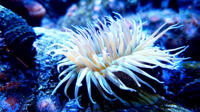 weißes meer anemone auf korallenriff - aquarium oder zoo stock-videos und b-roll-filmmaterial