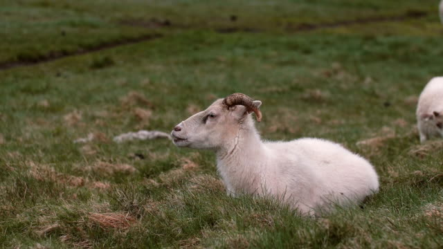 White sheep lying on the green field. Farm animal grazing on the meadow, resting on the grass video