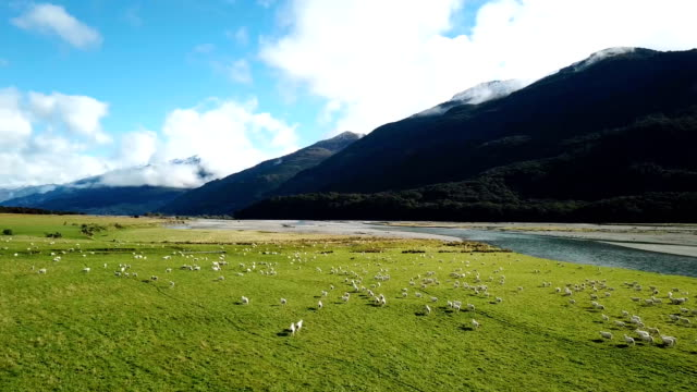 white sheeps running on green grass in top view - sheep stock videos and b-roll footage