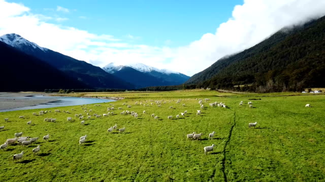 white sheeps running on green grass in top view - ovino video stock e b–roll
