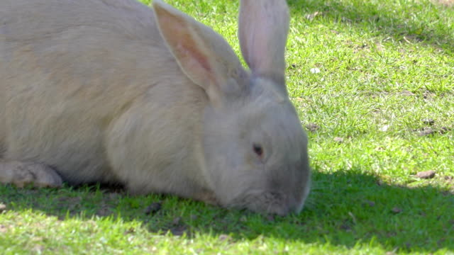 White small rabbit munching food on the ground White small rabbit munching food on the ground of green grass lawn in the zoo coonhound stock videos & royalty-free footage