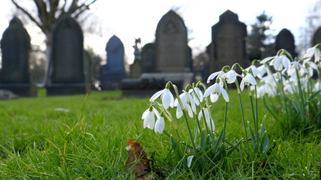 Bидео White snowdrop flowers in an old cemetery