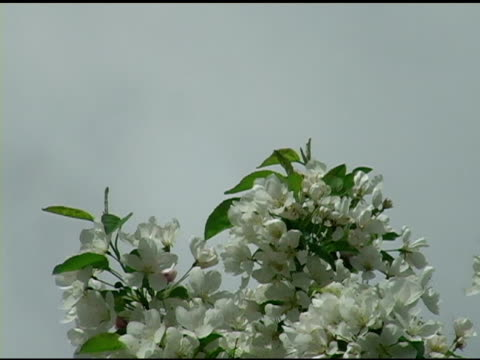 White Spring Blossoms 2 video
