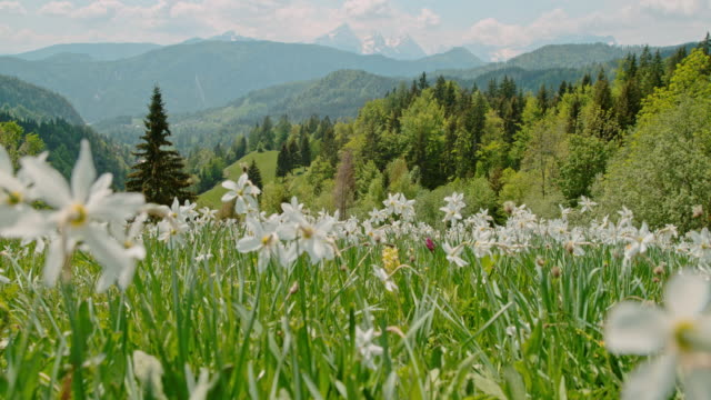 WS White spring flowers in sunny,idyllic meadow with mountains in background,Slovenia
