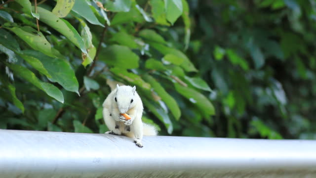 White squirrel eating a cookie White squirrel eating a cookie. 01 animal whisker stock videos & royalty-free footage