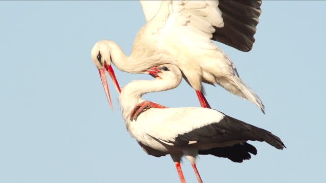 bocian biały-copulation - zachowanie zwierzęcia filmów i materiałów b-roll
