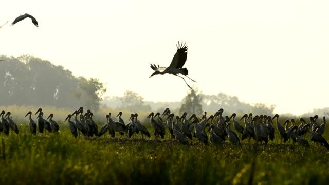 White storks flying video
