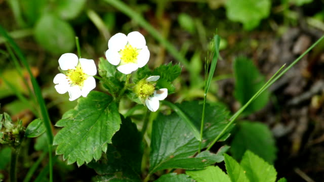 white strawberry flowers on top among the greens video