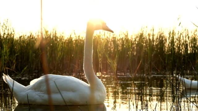 White swan bird on the lake at sunset