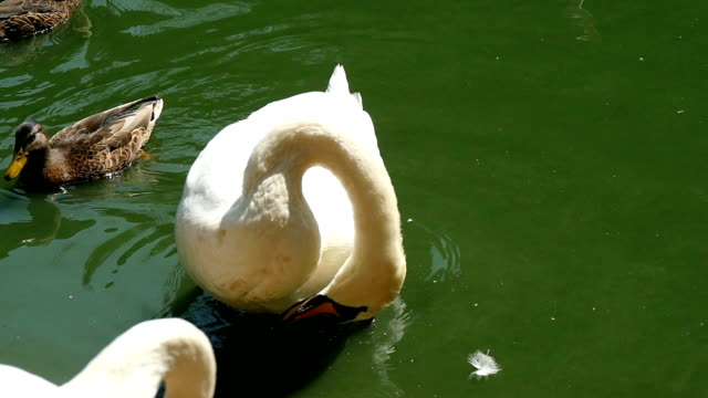 A white swan cleans its feather with its beak and ducks swim nearby in slow-mo video