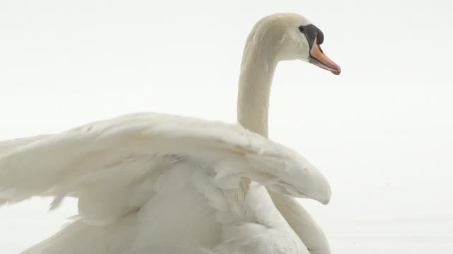 white swan closing wings and looking at camera on white background - video