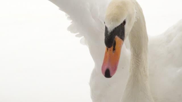 weisser schwan detail mit geöffneten flügeln - schwan stock-videos und b-roll-filmmaterial