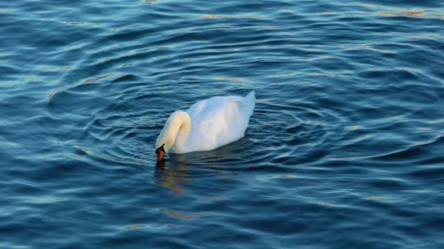 weisser schwan schwimmend auf der wasseroberfläche des zürichsee, schweiz - schwan stock-videos und b-roll-filmmaterial