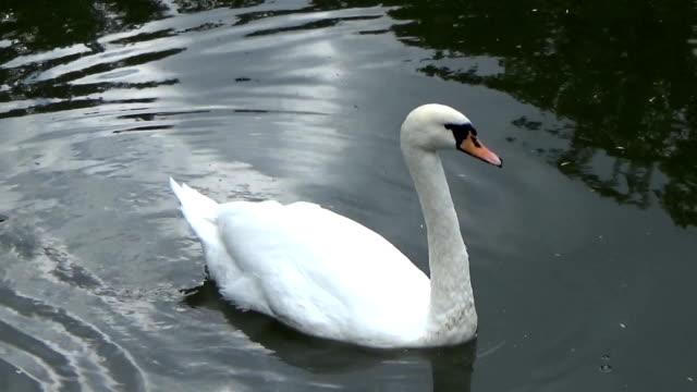 white swan floating on the river - ghat filmów i materiałów b-roll