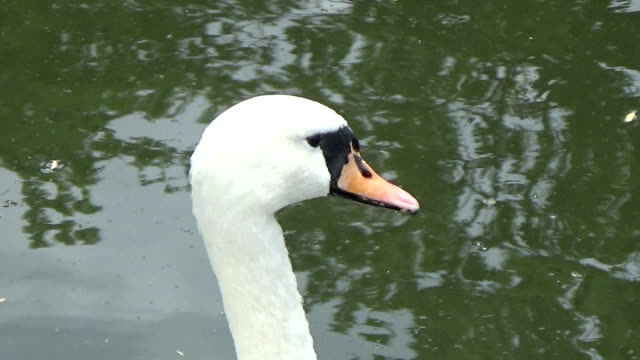 white swan preening its feathers - ghat filmów i materiałów b-roll