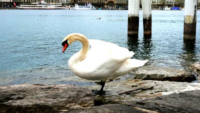 white swan stand one leg beside lake video