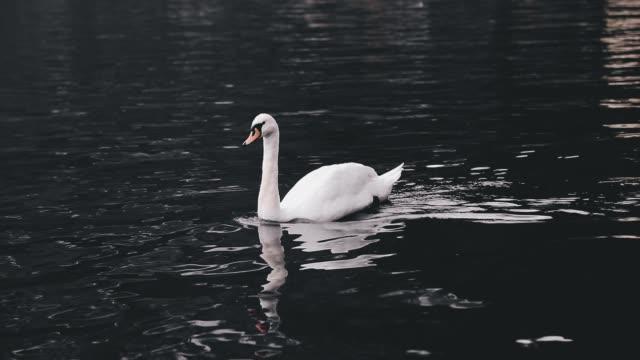 White swan swimming Hallstatter See lake in Austria