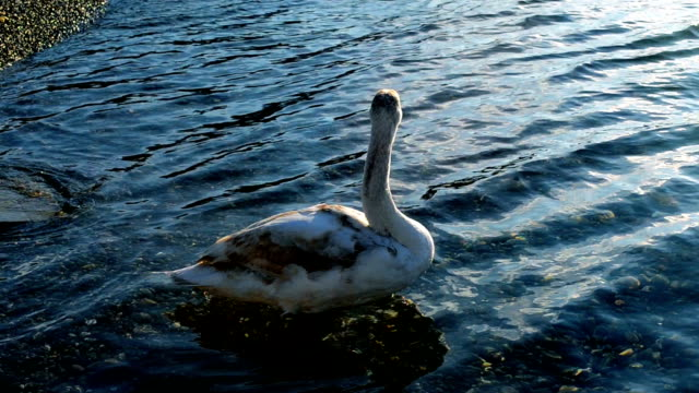White swan swims near the shore of the sea White swan swims near the coast and cleans feathers animal limb stock videos & royalty-free footage