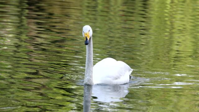 White swan swims on lake