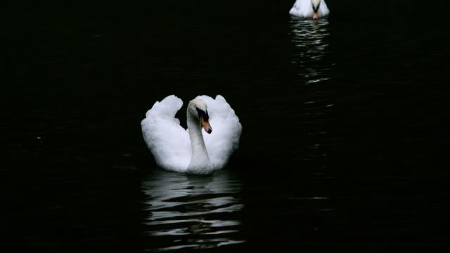 white swan - schwan stock-videos und b-roll-filmmaterial