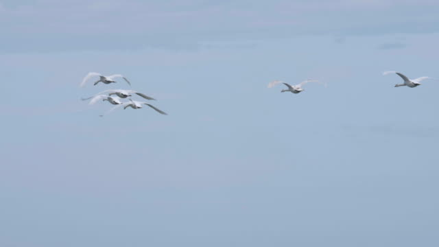 White Swans flying in formation on a clear winter day. Trumpeter swans flying flock. A flock of whistling swans flying in sky in north . Slow motion. Flock of Swans Flying on Blue Sky at Slow Motion.