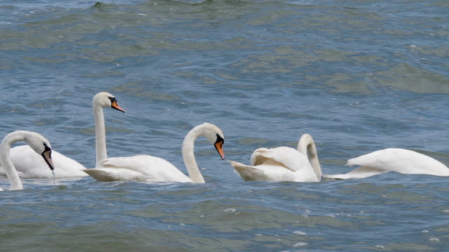 White swans in calm sea water along surf line of beach. Slow motion. Family of a pair of swans with grown-up chicks floating in sea, in  against a background of small waves on the surface of sea.4K