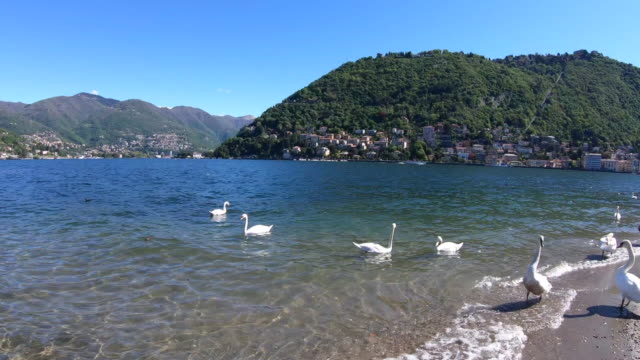 White Swans on the lake floating with ducks. Birds float on water in a lake in summer, Italy