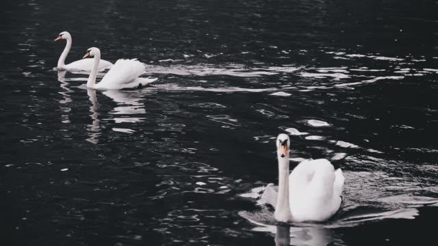 White swans swimming Hallstatter See lake in Austria
