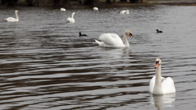 white swans swimming in the pond white swans swimming in the pond with little ducks animal limb stock videos & royalty-free footage