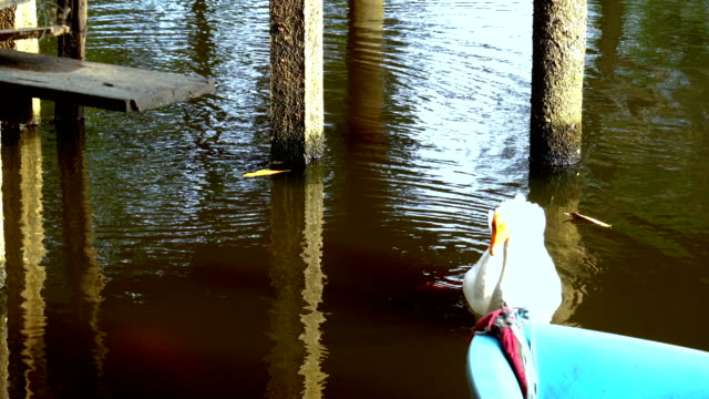 White swans swimming lake in thailand