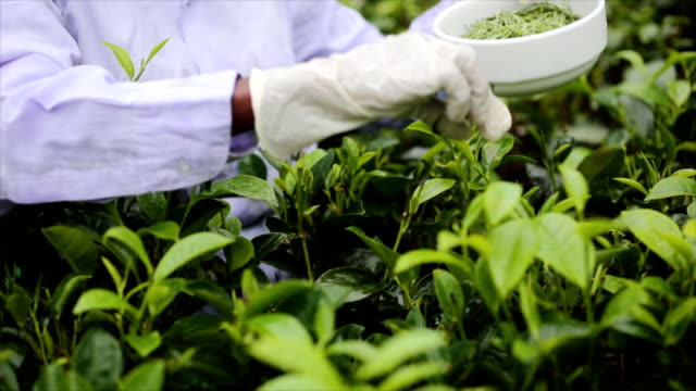White tea picker video