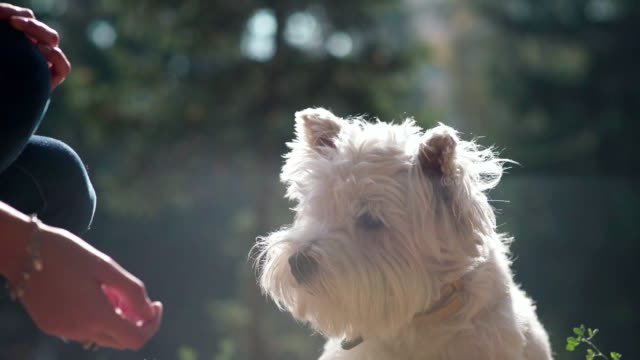 White terrier. Put out your paw Owner executes the command video