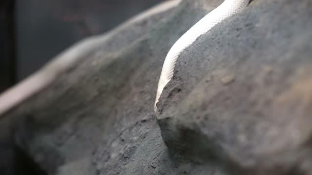 white texas rat snake crawling on stone