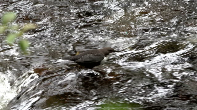 white throated dipper river nethy abernethy forest cairngorms national park scotland uk - cinclus video stock e b–roll