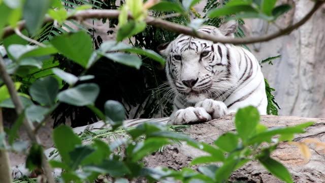 white tiger behavior video