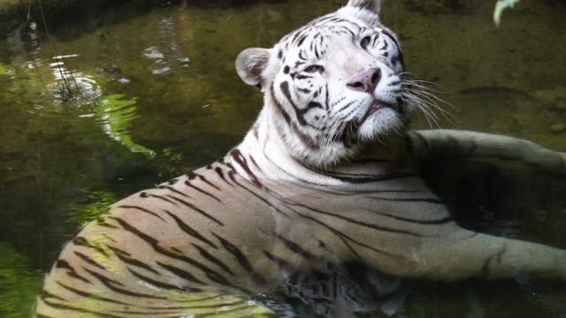 White tiger chilling inside pool and taking rest video