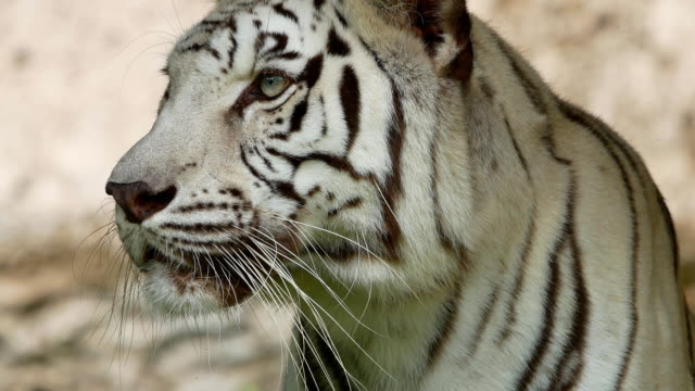 white tiger close-up video