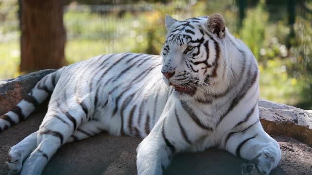 地面の上に横たわって白虎 ビデオ