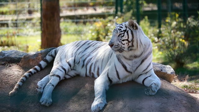 Best White Tiger Stock Videos and Royalty-Free Footage - iStock
