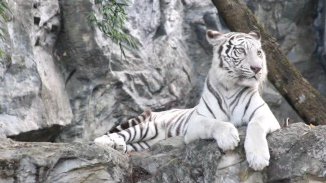 tigre bianca riposo su pietra - mammifero video stock e b–roll