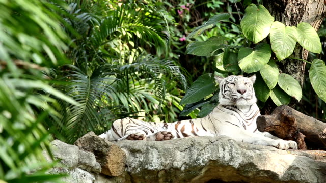White Tiger video