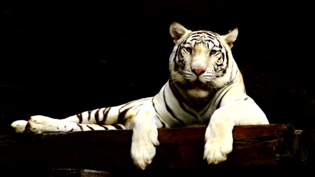 vídeos y material grabado en eventos de stock de tigre blanco - tigre