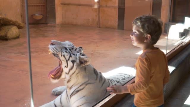 vidéos et rushes de tigre blanc bâille au zoo - zoo