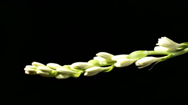 White tuberosa flower opening