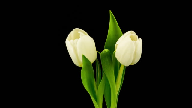 White Tulip Time Lapse (4k Resolution) video