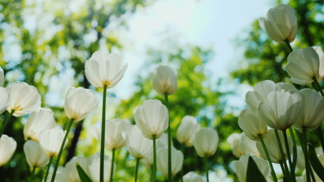 White tulips against the blue sky with green trees. Lower shooting point video