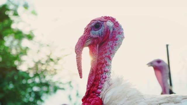 vídeos y material grabado en eventos de stock de pavo blanco en yarda de pájaro, cabeza primer plano. viva bella turquía. pavo para el día de fiesta - thanksgiving turkey