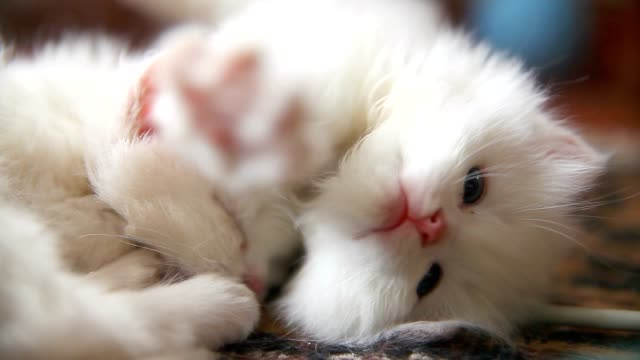 white two kitten playing sleeps bite each other