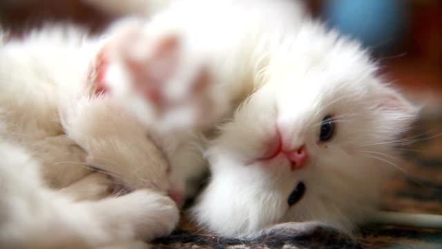 Branco dois kitten jogar estiver inactivo cada dentada - vídeo