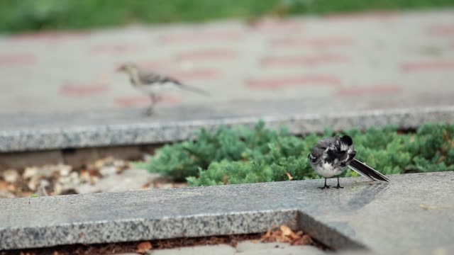 White Wagtail (Motacilla alba) A bird with white, gray and black feathers in the city park. A delightful small, long-tailed and rather sprightly black and white bird. video